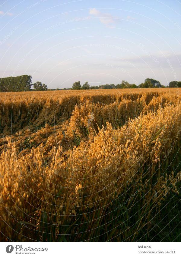 Müllekoven Natur Himmel Baum grün Landschaft Stimmung Feld gold Getreide Kornfeld Lichtstimmung