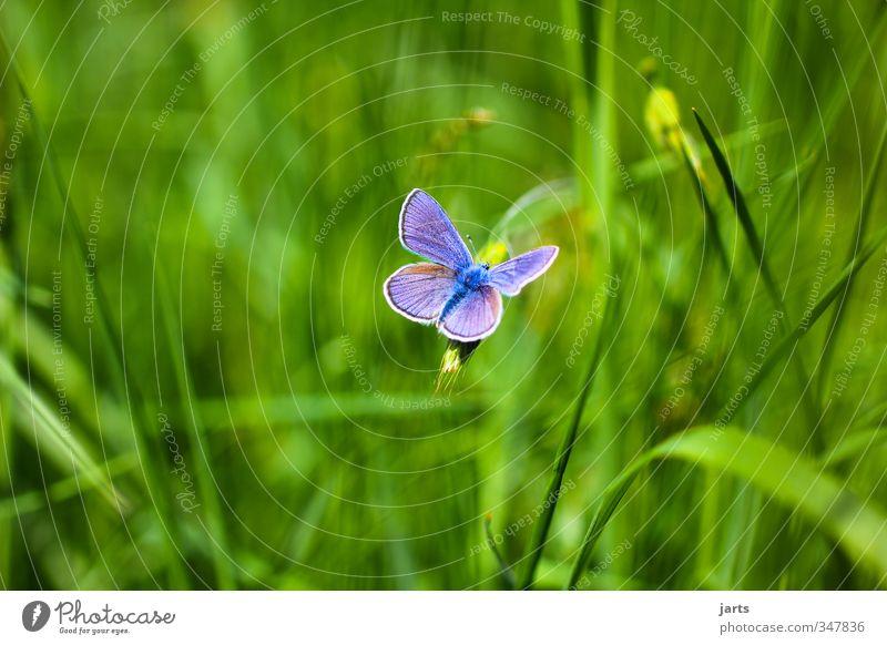 blickfang Natur Pflanze Tier Sommer Schönes Wetter Gras Wiese Wildtier Schmetterling 1 frisch schön natürlich blau Farbfoto Außenaufnahme Menschenleer