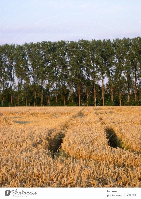 Feldweg Natur Baum grün blau gelb Wiese Landschaft Feld gold Getreide Fußweg Kornfeld Pappeln