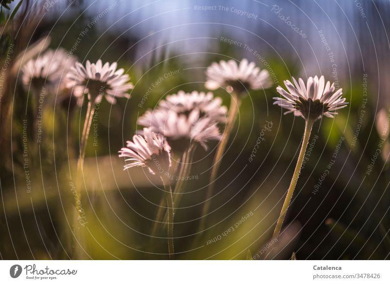 Gänseblümchen im Abendlicht aus der Froschperspektive Frühling Pflanze Blume Natur Wiese grün weiß Garten Schwache Tiefenschärfe Blau