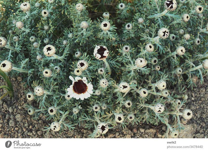 Afrikanische Margerite Blumen blühen Blüten Sträucher Natur Pflanze Frühling Farbfoto schön grün Außenaufnahme Nahaufnahme