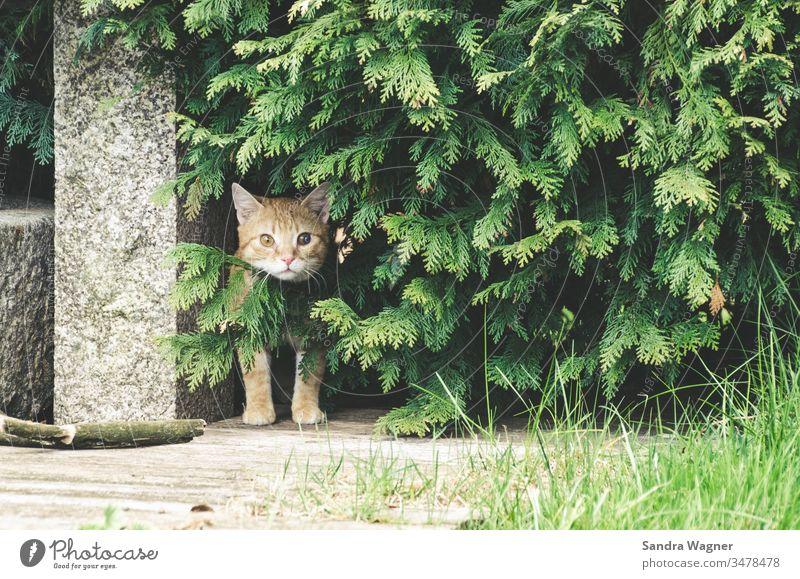 Ein roter Kater sitzt im Unterholz Katze kater Bäume gestrüpp garten stein neugierig interessiert grün hecke tuje tier haustier farbfoto tierportrait