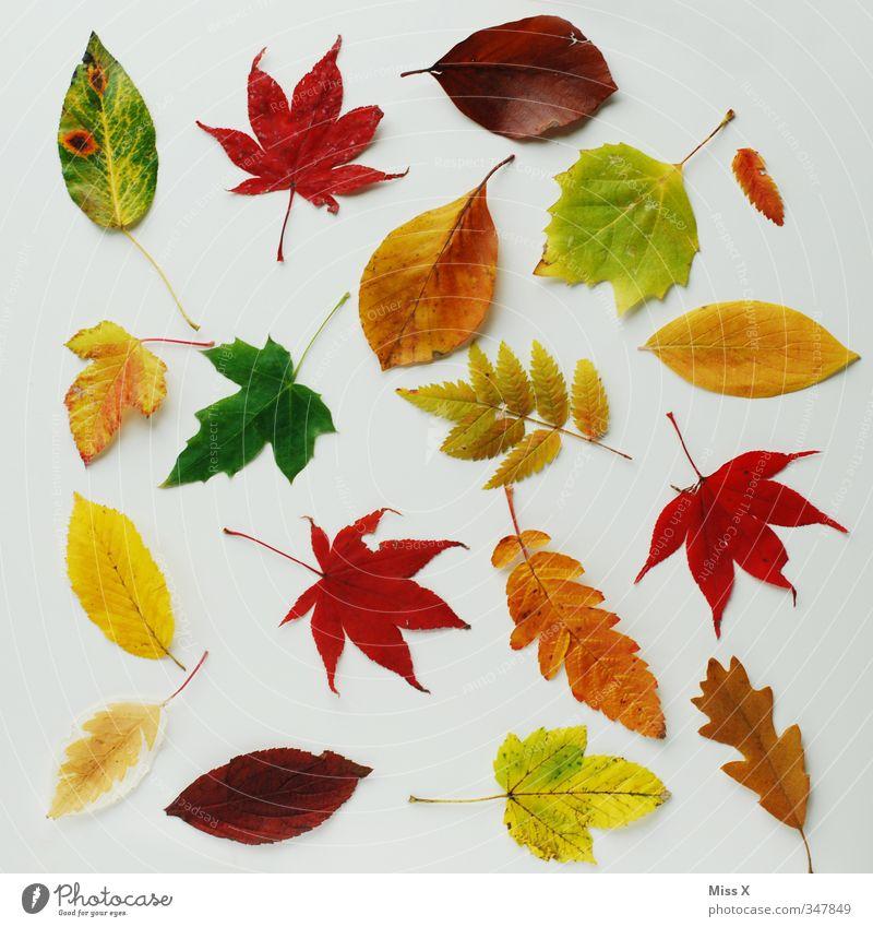 Bunte Sammlung Herbst Blatt mehrfarbig Herbstlaub herbstlich Eichenblatt Buchenblatt Ahornblatt Ebereschenblätter Herbstbeginn Herbstfärbung Farbfoto