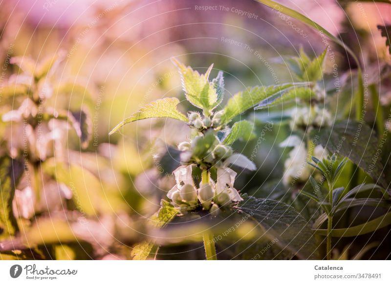 Taubnesseln im Abendlicht Pflanze Natur Nessel Feld Garten Sommer Frühling Wiese Blühend Wachstum schön Blüte Schönes Wetter Sonnenlicht schwache Tiefenschärfe