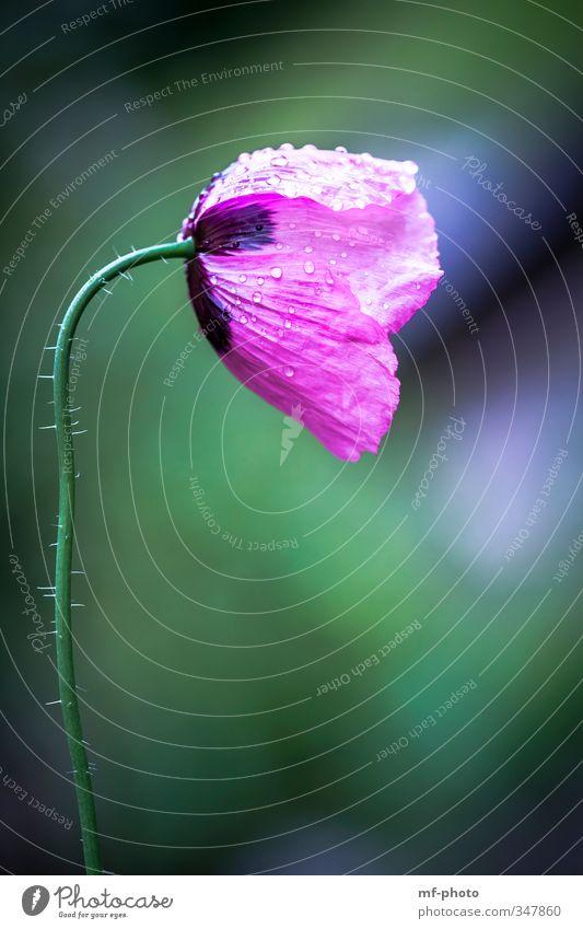 Pink Poppy Natur blau grün Pflanze Blume Umwelt Wiese Garten rosa Mohn Klatschmohn