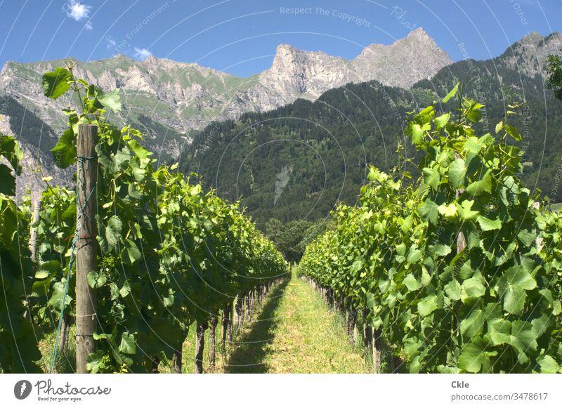 Weinberg in Schweizer Alpen Reben Maienfeld Heidi Roman Heidiland Berge Bündner Herrschaft Gipfel Berge u. Gebirge Außenaufnahme Farbfoto Natur Landschaft