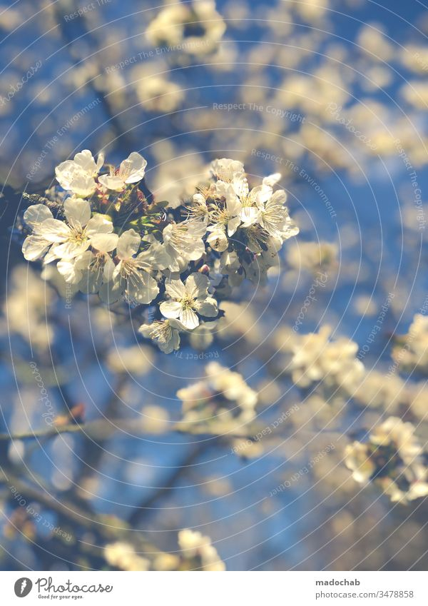 Cherry picking Frühling Natur Baum Blüte Kirsche Wachstum Leben Umwelt schön blühen Pflanze Blühend Farbfoto Frühlingsgefühle Duft Kirschblüten Nahaufnahme Ast