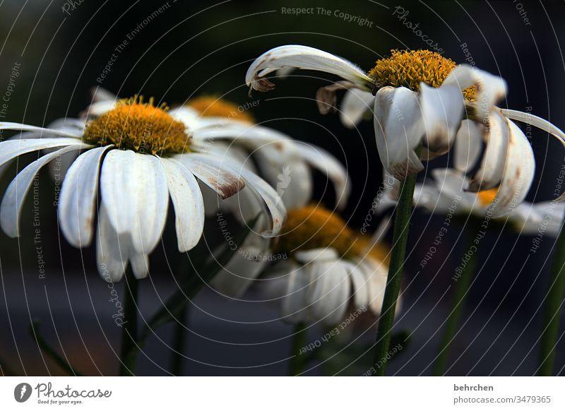 trauer | corona thougths Trauer Traurigkeit traurig verblühen sterben Tod Margarite Blume Blüte dunkel trostlos Trostlosigkeit Hoffnungslosigkeit Ende verwelkt