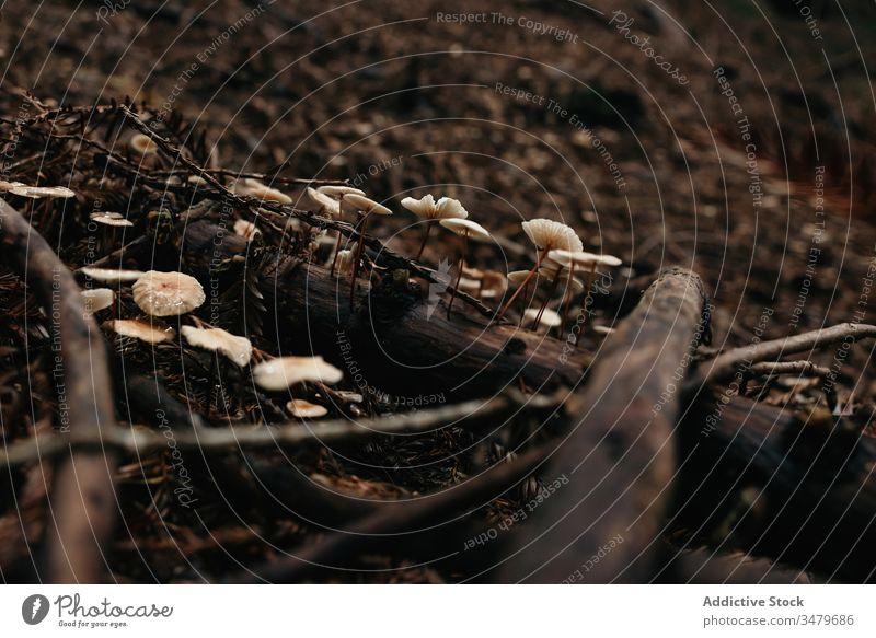 Kleine Pilze, die auf Erdgras wachsen Natur Wald Boden Herbst natürlich giftig Gift botanisch Pflanze Botanik Laubwerk Vegetation horizontal Textfreiraum