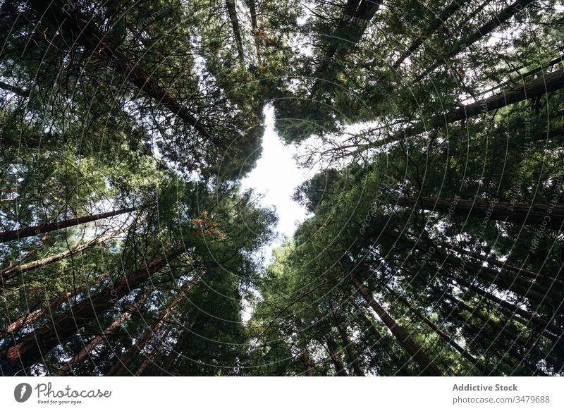 Nadelwald mit niedrigem Winkel Wald Park Nachlauf Bäume Kofferraum Natur Mysterium Landschaft Einsamkeit hoch malerisch Fernweh Weg Frieden unverhüllt Holz