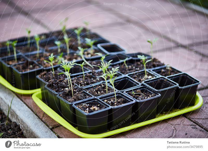 Sämlinge von Blumen in Töpfen auf einem Tablett. Botanik Gartenarbeit wachsend Kunststoff Boden Frühling kultivieren zerbrechlich Hobby sprießen jung Pflanzen