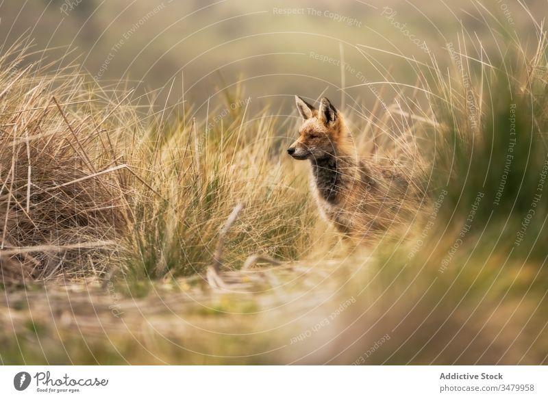 Schöner Fuchs auf dem Feld Tierwelt Landschaft Säugetier rot Natur wild Fleischfresser Eckzahn Fell niedlich Raubtier orange im Freien Jäger Füchsin jagen