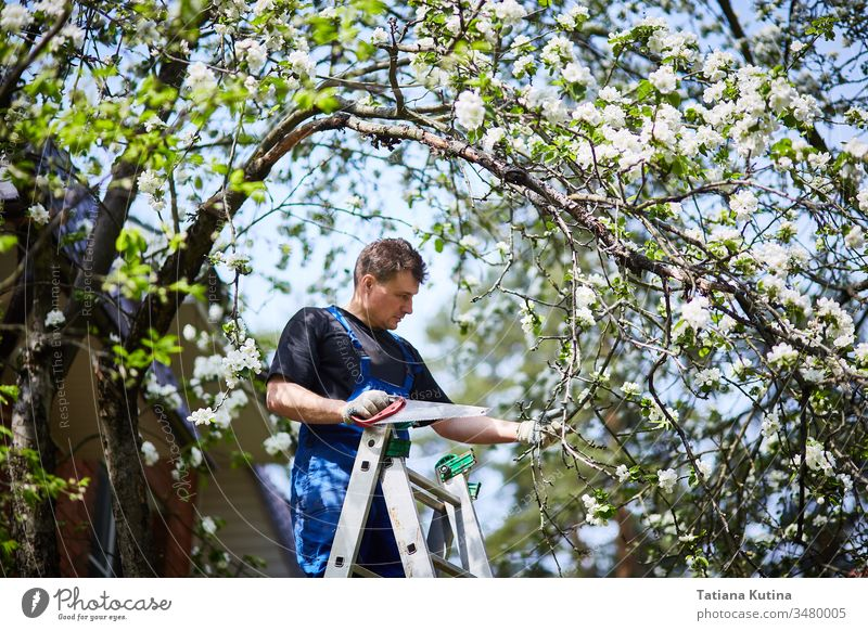 Ein Mann schneidet mit einer Säge einen Zweig eines blühenden Apfelbaums im Garten ab. Arbeit geschnitten Gärtner Gartenarbeit Natur im Freien Werkzeug Ackerbau