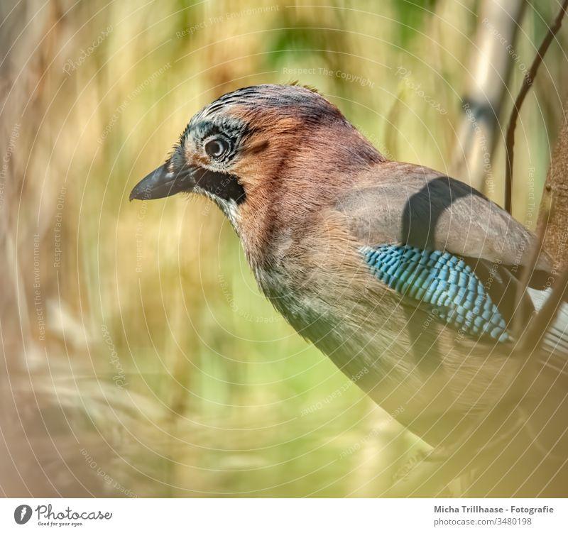 Eichelhäher im Sonnenschein Garrulus glandarius Kopf Schnabel Auge Feder gefiedert Flügel Tiergesicht Vogel Krallen Wildtier Schönes Wetter Sonnenlicht Natur