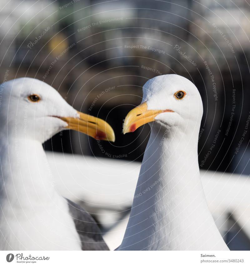 Klatsch und Tratsch Möven Stufe 2 Tiere Tiergesicht Tierporträt Natur Farbfoto Detailaufnahme vogel Vogelwelt Schnabel federn