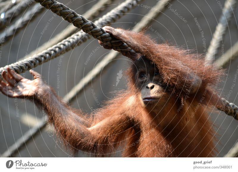 Im Pongoland Natur Tier Zoo 1 Gefühle Geborgenheit Fernweh Einsamkeit Affen Menschenaffen Orang-Utan Seil Käfig Hand Fell Borneo Farbfoto Gedeckte Farben