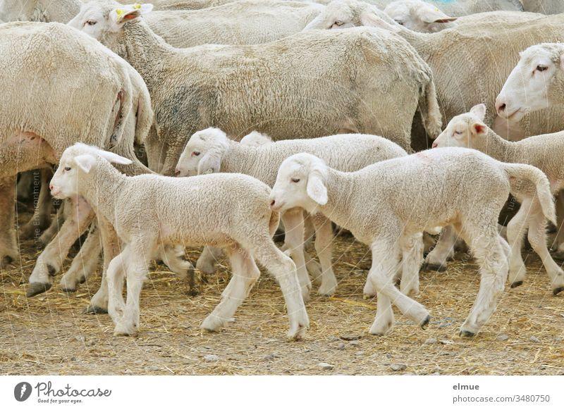 Lämmer in einer vorbeiziehenden Schafherde Lamm laufen Jungtier Herdentrieb Landwirtschaft Bauernhof Mutterschaf Tier ländlich Wolle Wolllieferant viele