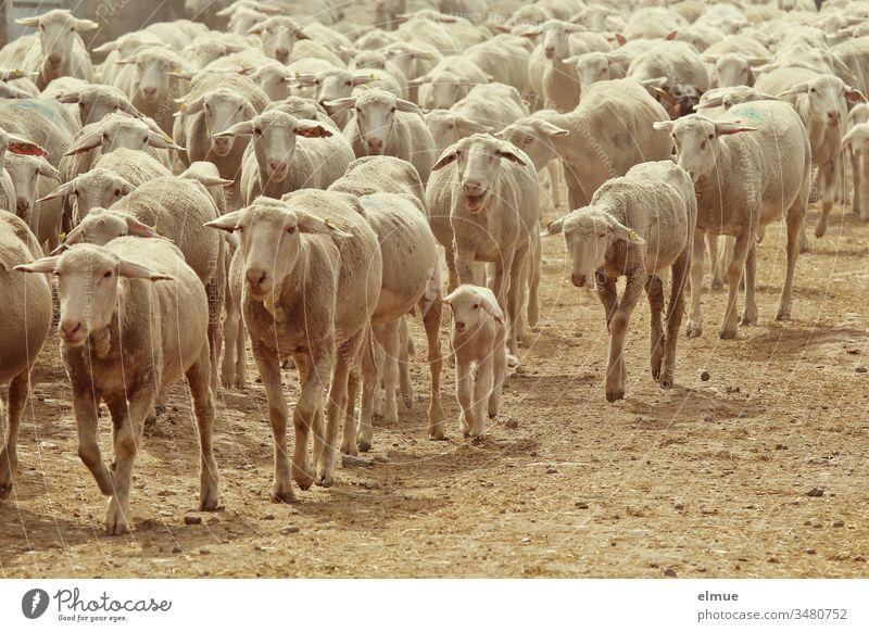 eine Herde geschorener Schafe mit Lämmern diagonal von rechts nach links durchs Bild laufend Schafherde Lamm Mutter Herdentrieb treiben Lammzeit Frühjahr