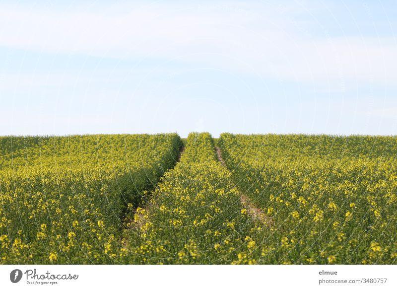 Fahrspur im erblühenden Rapsfeld und blauer Himmel Feld Leitspur Landwirtschaft Feldbau Ackerbau Frühling Ölfrucht Energie Pflanze Horizont schönes Wetter
