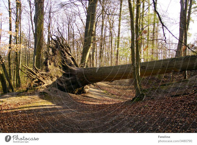 Sabine haut den Stärksten um - oder ein Baum im Wald, der vom Sturm Sabine entwurzelt wurde Natur Landschaft Außenaufnahme Farbfoto Umwelt Menschenleer Pflanze