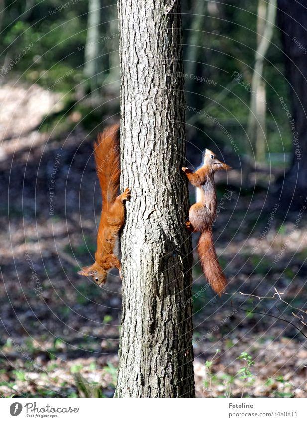 Buntes Treiben im Wald - oder 2 Eichhörnchen, die eigentlich 5 waren jagen sich den Baum hoch und wieder runter Tier Farbfoto Natur Außenaufnahme Wildtier