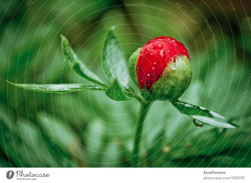 ne` Pfingstrose Natur Pflanze grün schön Sommer Blume rot Blatt Umwelt Frühling Garten Regen Wetter Wassertropfen einzeln Rose