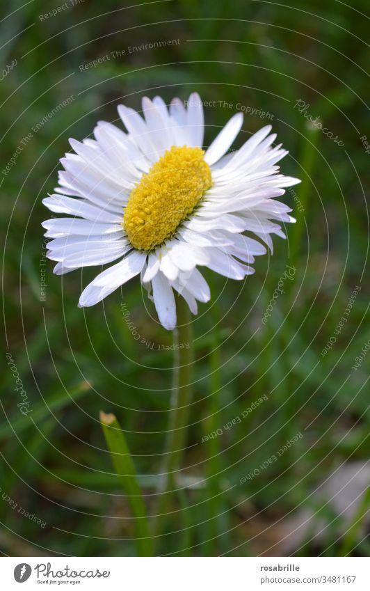 ungewöhnliches, besonderes, doppelt so langes Gänseblümchen | Symmetrie seltsam einzigartig außergewöhnlich auffallend eigen besonders außer der Reihe länglich