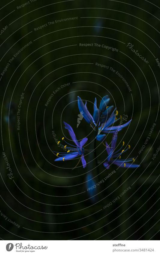 Camas Blüte Lilie blüte frühling blühen Frühling Natur Blume Pflanze schön Nahaufnahme Pollen Blütenstempel lila Anmut Blühend Detailaufnahme gelb