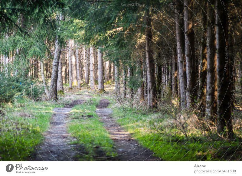 allein unter Fichten Wald Nadelwald Waldweg Forstweg Forstwirtschaft Nadelbäume Tannenzweige Ziehweg Reifenspuren Waldboden Sonnenlicht golden grün Baumstämme