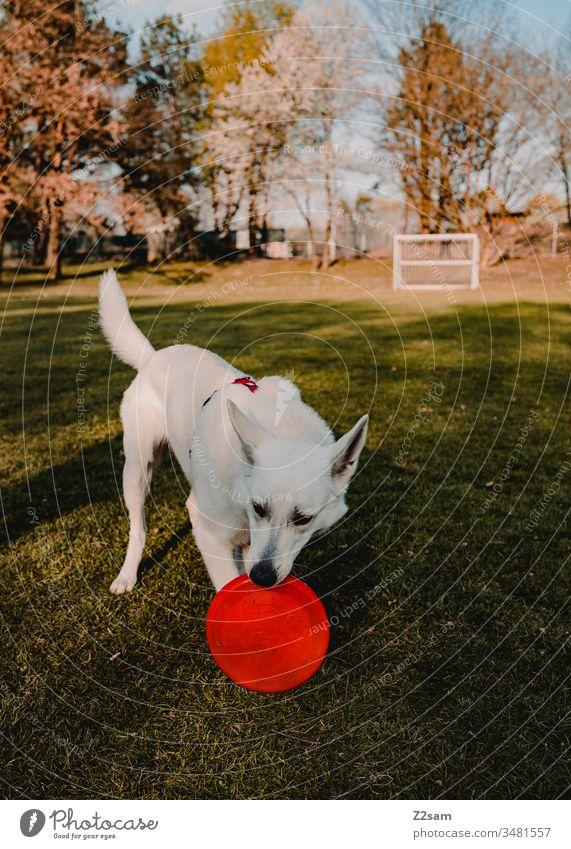 Weißer Schäferhund spielt mit Frisbee schäferhund haustier wiese fussball sonne wärme gassi gehen spazieren spielen natur Tier Außenaufnahme Landschaft spaß