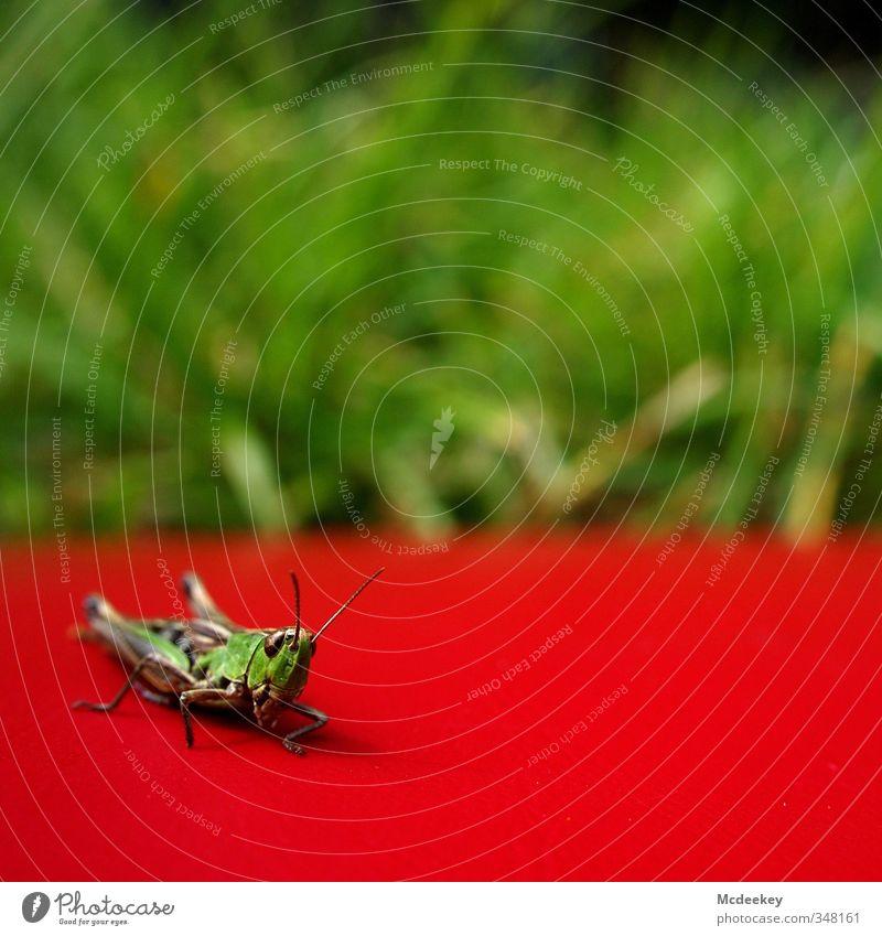 1,2, hopp... Natur grün weiß Sommer Pflanze Sonne rot Einsamkeit Tier schwarz Gras grau Beine natürlich braun orange