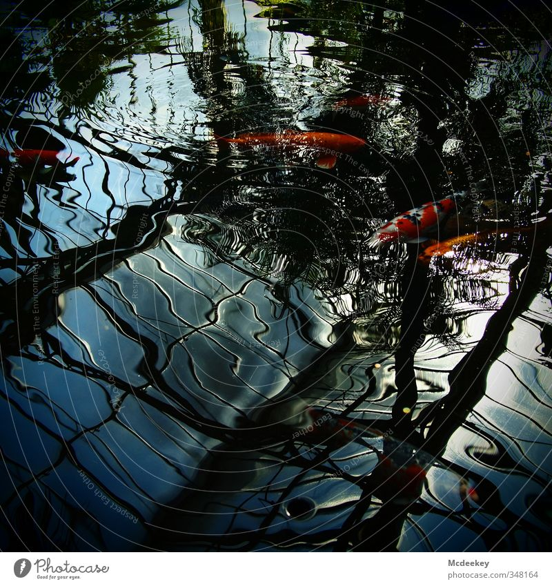 Klare Sicht voraus! Natur Tier Wasser Schönes Wetter Teich Wildtier Fisch Zoo 4 Tiergruppe Schwarm exotisch frisch glänzend nass natürlich blau grau grün orange