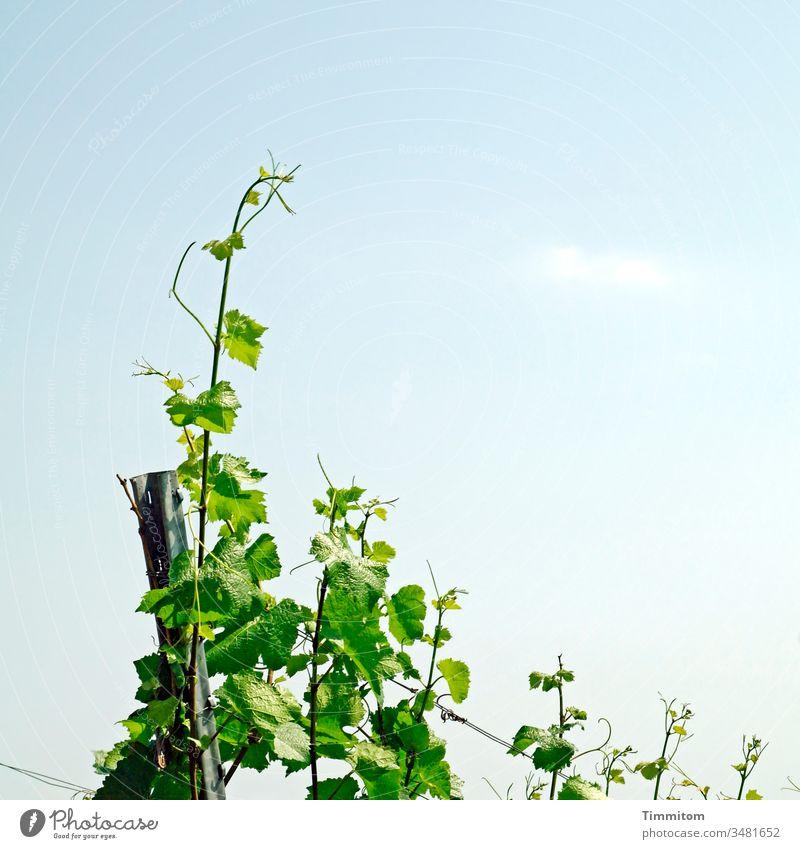 Die Reben sind auf einen guten Weg! Wein Weinberg Weinbau Pflanze Weingut Natur grün Blatt Wachstum Pfosten Draht Außenaufnahme