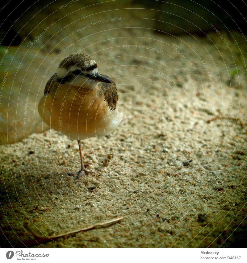 Einbeinvogel Tier Wildtier Vogel Tiergesicht Flügel Krallen Zoo 1 gelb grau orange schwarz weiß Angst gefangen Feder Sand Stein Schnabel Auge Streifen Halm
