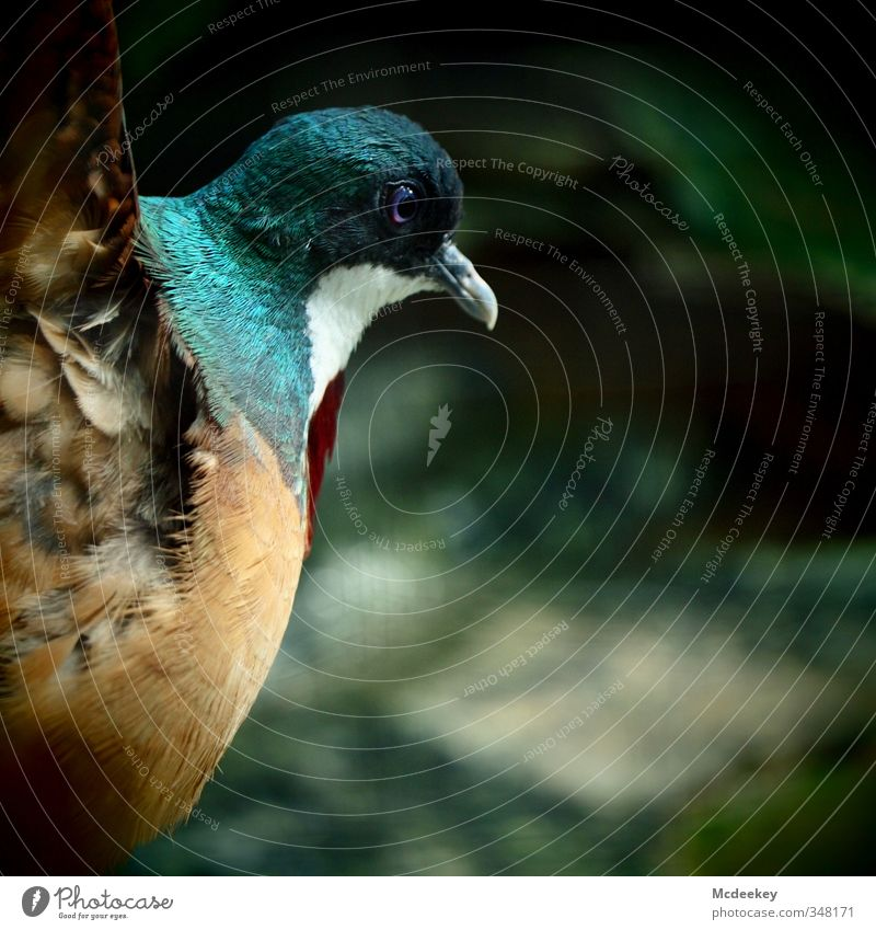 Liebestanz Tier Wildtier Vogel Taube Tiergesicht Flügel Zoo 1 elegant Erfolg rebellisch wild blau braun mehrfarbig grau grün orange rot schwarz weiß Feder