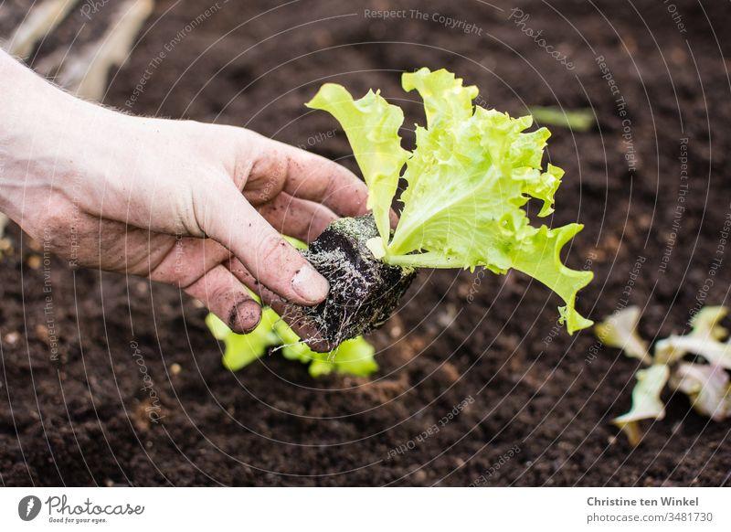 Hand eines jungen Mannes beim Pflanzen von Salat Salatblatt pflanzen Salatpflanze Beet Frühling Gartenarbeit Natur grün braun Erde Freizeit & Hobby Gemüse