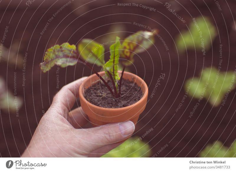 Rote Bete Pflänzchen in einem Tontopf, gehalten von einer Frauenhand Rote Bete Pflanze junges Gemüse pflanzen Beet Pflanztopf Frühling Ernährung