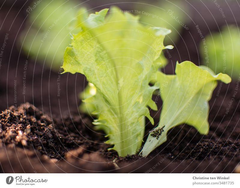 Salatpflänzchen in frischer Erde im Beet Salatblatt pflanzen Salatpflanze Frühling Gartenarbeit Natur grün braun Pflanze Freizeit & Hobby Gemüse Nutzpflanze