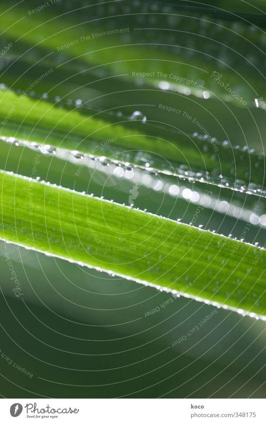 Wassertröpfchen. noch mehr. Natur Pflanze Wassertropfen Sonnenlicht Frühling Sommer Gras Streifen Netzwerk Tropfen glänzend leuchten Wachstum ästhetisch einfach