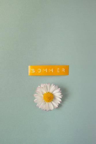 Ein Gänseblümchen mit einem gelben Etikett auf dem das Wort Sommer steht auf blauem Hintergrund Gänseblume Frühling sommerlich fröhlich optimistisch türkis