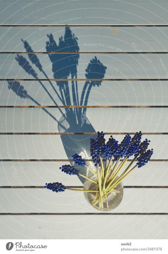 Fächer Traubenhyazinthe Vase klein Blick von oben Tisch Metall Linien Schatten Sonnenlicht Frühling kleinblau Blume Farbfoto Pflanze Menschenleer Blüte