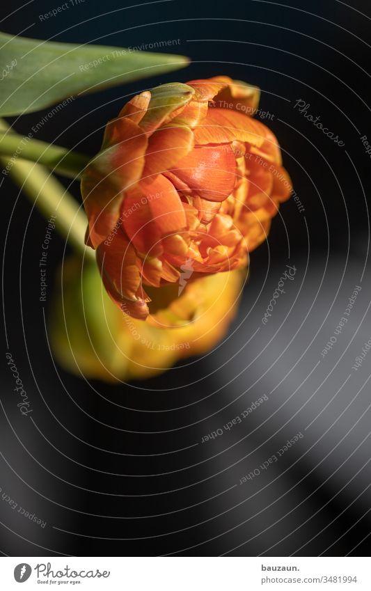 tulpe. Tulpe Blume Blumenstrauß Frühling Farbfoto Blüte Blühend Innenaufnahme Pflanze leuchten orange Textfreiraum unten Tag wohnen Dekoration & Verzierung