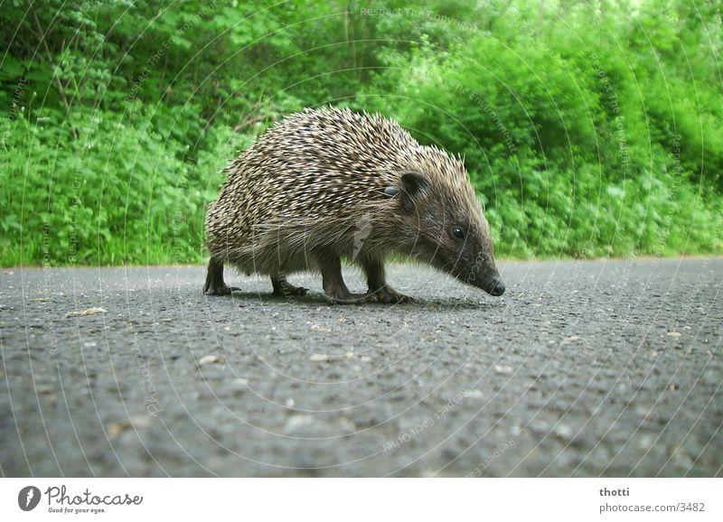 Igel grün Tier Straße gefährlich bedrohlich Asphalt
