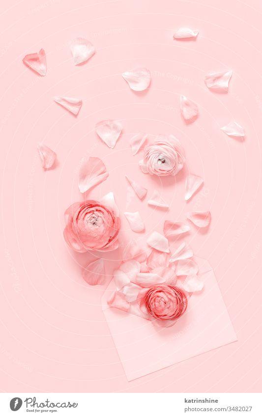 Rosa Blumen und Blütenblätter aus einem Briefumschlag auf hellrosa Hintergrund Ranunculus Frühling Kuvert sprengen romantisch Pastell flache Verlegung Monochrom