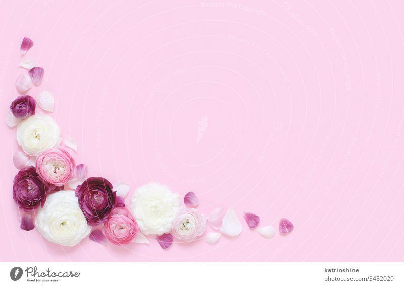 Eckrahmen aus rosa und cremefarbenen Blumen auf hellrosa Hintergrund Eckstoß Rahmen Ranunculus Frühling romantisch Fuchsie Pastell flache Verlegung