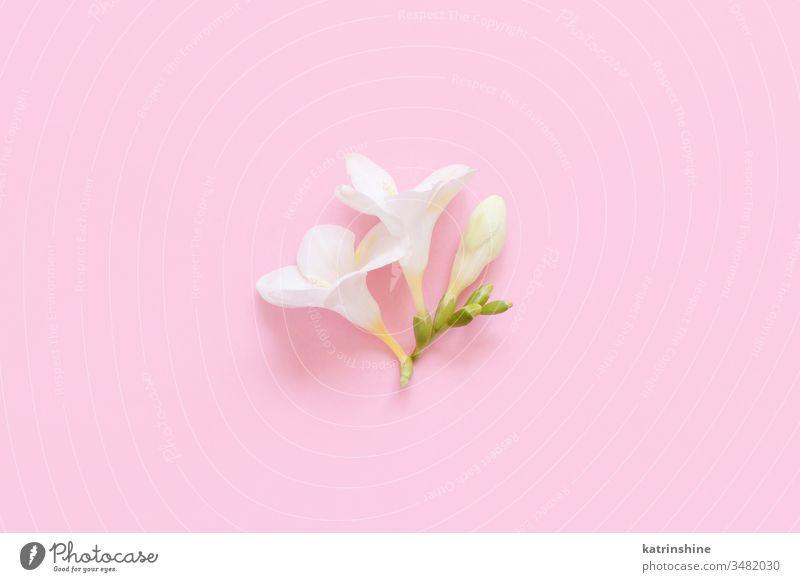 Weiße Fresienblüte auf hellrosa Hintergrund Blume weiß fresia Frühling romantisch Pastell flache Verlegung Zusammensetzung Rosen Draufsicht oben Konzept kreativ