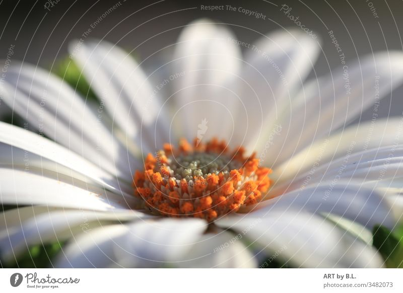 Gerbera in weiß blume blüte makro nahaufnahme rein reinheit blumig filigran blütenblätter gerbera