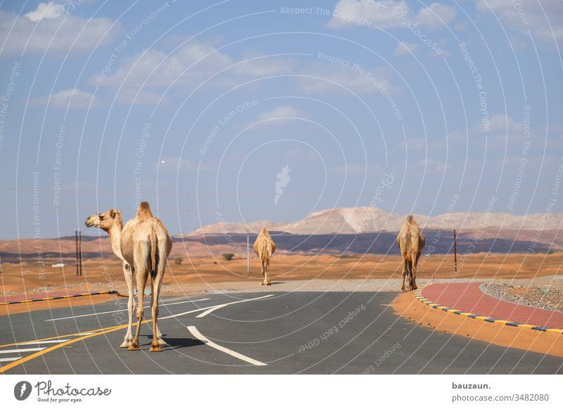 kamele auf straße. Kamele Straße Wüste Straßenverkehr Kreuzung links Sand Dromedar Oman Himmel Sahara Tourismus Ferien & Urlaub & Reisen Sommer Arabien heiß