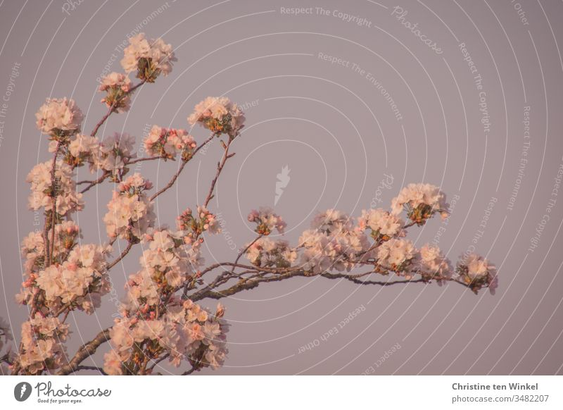Rosa Blüten der Zierkirsche/Prunus serrulata vor blauem Himmel Frühling Kirschblüten rosa Natur Baum Außenaufnahme Blühend Farbfoto Frühlingsgefühle Kirschbaum