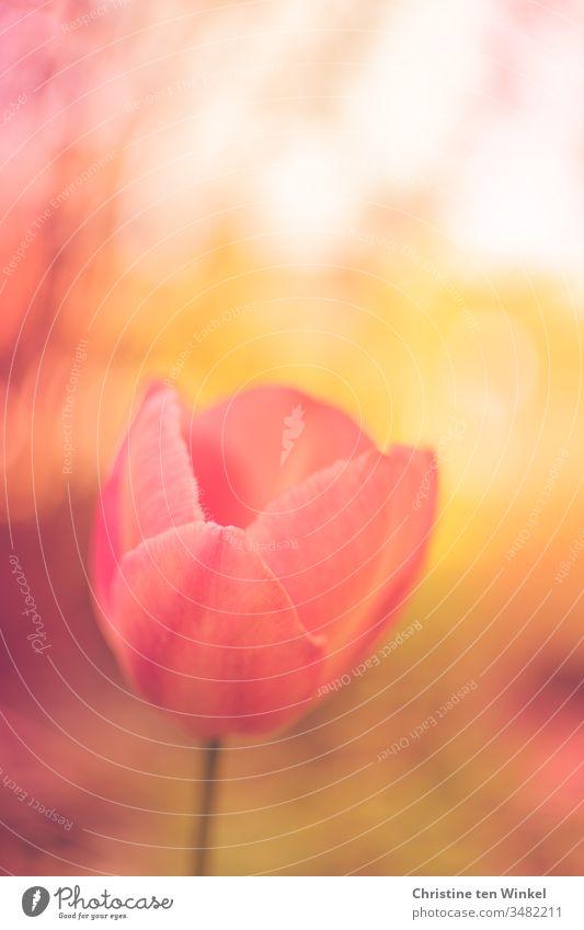 Blüte einer Tulpe wie gemalt in pink/orange/gelb mit schwacher Tiefenschärfe Tulpenblüte Blume Frühlingsblume Natur Pflanze Zwiebelblume Frühlingsgefühle